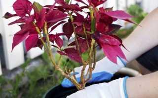 Коли пересаджувати пуансеттию, який грунт любить рослина, відео