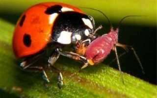 Які є Корисні комахи для саду та городу, комахи які борються зі шкідниками