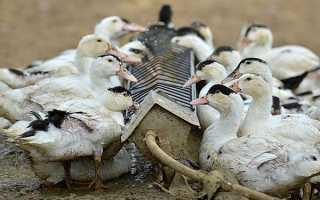 Чим годувати качок — що їдять качки, правила складання комбікорми в домашніх умовах, відгодівлю і раціон птиці, відео