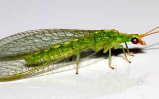 Златоглазка — шкідник або захисник, як позбутися від комахи, відео