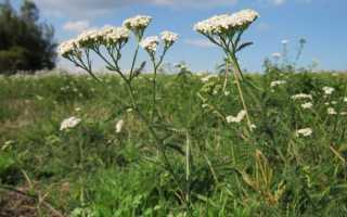 Солдатська трава — лікувальні властивості рослини, відео
