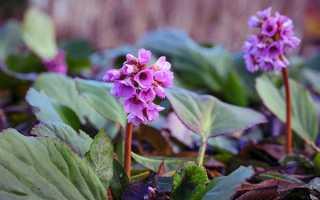 Бадан — фото толстолистного, серцелиста, гібридного, садового рослини, відео