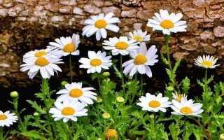 Ромашка садові квітка. Вирощування ромашки садової. Догляд за ромашкою садової