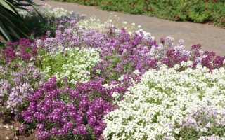 Вирощування иберис в саду з насіння, строки посіву, догляд, відео