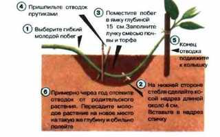 Спірея — розмноження відводками, час проведення операції, відео
