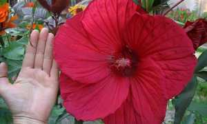 Гібіскус трав'янистий — особливості вегетації, терміни посіву і збору насіння, відео