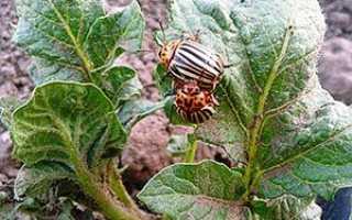 Використання народних засобів в боротьбі проти колорадського жука на картоплі, відео