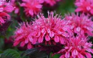 Монарда квітка. Опис, особливості, види і догляд за монардой