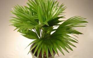 Пальма ливистона в домашніх умовах. Догляд, вирощування, розмноження. фото