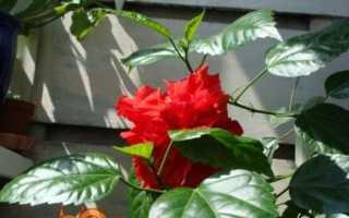 Китайська троянда — гібіскус — догляд в домашніх умовах