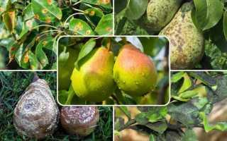 Хвороби груші з фотографіями і опису а також їх лікування
