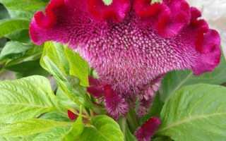 Однорічний квітка целозия — рослина тривалого цвітіння для садових композицій, відео