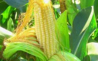 Кукурудзяні рильця — лікувальні властивості, показання та протипоказання до застосування, як заварювати, відео