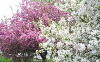 Коли цвіте яблуня: вплив сорту і регіону вирощування на строки, відео