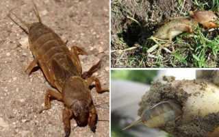 Капустянка — характеристики шкідника, небезпека для рослин, відео