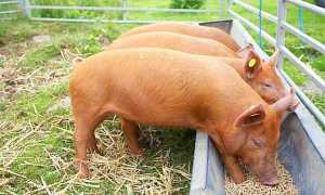 Годівниці для свиней бункерного типу, зроблені своїми руками, ніпельні поїлки і корито, відео