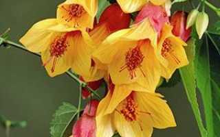 Абутілон — вирощування в домашніх умовах, догляд, температура змісту, обрізка, відео
