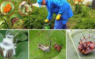 Боротьба з колорадським жуком народними засобами: обприскування, часник, пастки, мульчування