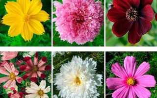 Види космеи — класифікація по висоті рослини, видам квітів, відео