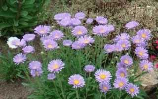 Астра альпійська багаторічна: вирощування з насіння. Посадка і догляд