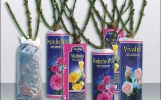 Як посадити навесні троянди, куплені в магазині, відео