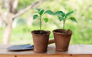 Перець — вирощуємо розсаду за правилами. В домашніх умовах. Коли садити?