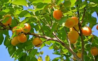 Правила добрива абрикосів навесні