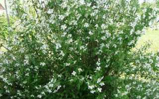 Жасмин карликовий садовий — бузок суничний, характеристики, відео
