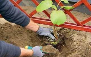 Як садити актинідію навесні: час і способи посадки, відео