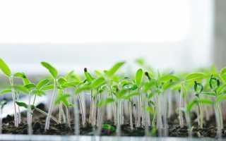 Чому помідори сходять з насінням на листках, що робити