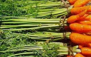Кращі сорти моркви з фото і описом для посадки на дачі + відео