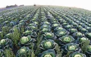 Як садити капусту? Коли садити капусту?