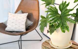 5 найефектніших кімнатних рослин з великими листками. Алоказия, Афеландра, Медінілла, Монстера, Платіцеріум. Догляд в домашніх умовах. фото