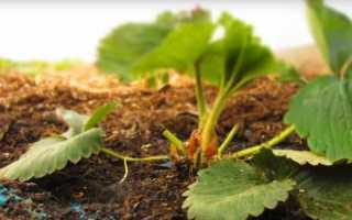 Садова суниця — правильний догляд і весняна подкомка