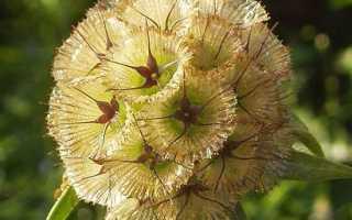 Скабіоза квітка. Опис, особливості, види і догляд за скабіози