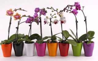 Чим і як удобрювати орхідею фаленопсис, відео