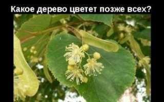 Яке дерево цвіте пізніше за всіх, опис липи, відео