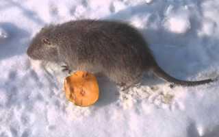 Нутріеводство взимку — правило утримання тварин взимку, відео