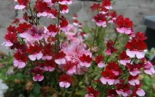 Немезія квітка. Опис, особливості, види і догляд за Немезія