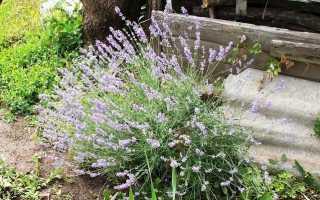 Як позбутися від попелиці на городі: препарати, народні засоби і способи