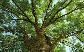 Дерево ясен — опис і фото, вирощування в саду, відео
