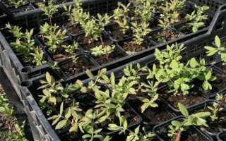 Як виростити жимолость з насіння? Як виростити в домашніх умовах. фото