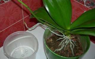Коли пересаджувати орхідею фаленопсис і як це робити, відео