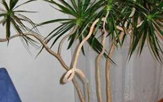 Драцена — розмноження в домашніх умовах живцями, відводками і насінням, фото, відео