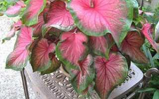 Квітка каладиум — догляд в домашніх умовах, фото, відео
