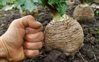 Як виростити кореневої селера, посів насіння, догляд, відео