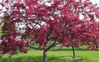 Яблуня з червоним листям: особливості виду, популярні сорти, відео