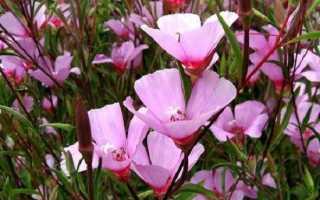 Кларкія квіти. Опис, особливості, види і догляд за Кларк