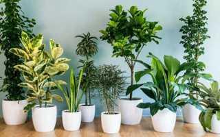 Чи не вимагають особливого догляду квіти для прикраси кімнат, підбір, відео