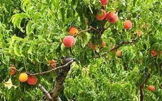 Обрізка персика навесні, влітку, восени, як правильно обрізати, схема, відео